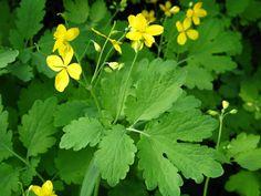 glistnik jaskolcze ziele Ikebana, Herbalism, Healing, Herbs, Garden, Food, Cookies, Diet, Health