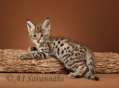 i want a savannah kitten when i become a millionaire. they're so expensive :(