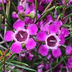 The Geraldton Wax Flower is Chamelaucium uncinatum, long flowering with large waxy flowers from spring through summer. Available for sale at most nurseries. Wax Flowers, Exotic Flowers, African Plants, Flower Close Up, Flower Nursery, Native Plants, Nurseries, Flower Tattoos, Fungi