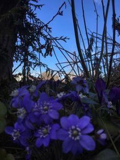 Blåveis, den vakreste blomsten jeg vet. Håpets blomst. Plants, Fantasy, Plant, Planets