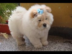 Chow Chow Dog Show 2016 WKC Westminster Kennel Club