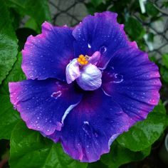10+ Dinnerplate Hibiscus/ Milkyway/ Perennial Flower Seed/ Easy to Grow/ Huge 10-12 Inch Flowers Saavy Seeds http://www.amazon.com/dp/B00QEDEALM/ref=cm_sw_r_pi_dp_99.nwb1DTEQPT