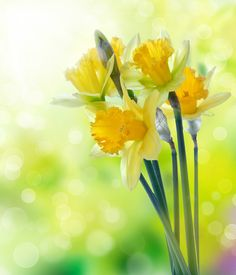 There is just something about daffodils that screams cheerfulness.... have to buy some today!