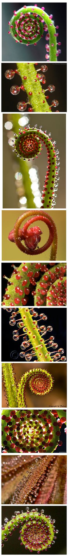 Sundews (Drosophylla) Carnivorous Plants - repinned by www.earthangel-family.de