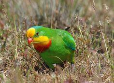 Barraband Parakeet