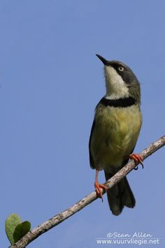 Image of a Bar-throated apalis taken at the van Stadens Flower Reserve, in the Eastern Cape of South Africa Beautiful Birds, Nature Photography, Bar, Animals, Animales, Animaux, Nature Pictures, Animal, Animais