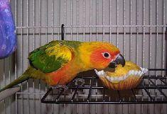 some great recipes for birds. my cockatiel LOVES bird bread. some great recipes for birds. my cockatiel LOVES bird bread. Parrot Pet, Parrot Toys, Parrot Bird, Budgie Toys, Pretty Birds, Love Birds, Beautiful Birds, Diy Bird Toys, African Grey Parrot