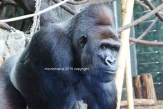 Smiling Ape Silver back Gorilla Animal Photo by moviemania on Etsy