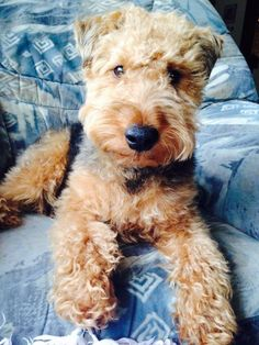 Barney the Welsh Terrier, looks just like my Bently!