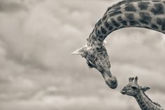 Tenderness by Mario Moreno ::  A portrait of a female giraffe (Giraffa camelopardalis) with her calf taken in the Kariega Game Reserve located in the Eastern Cape in South Africa.