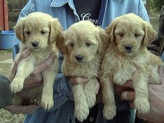 Mini Golden Doodles for sale in NY Goldendoodles For Sale, Goldendoodle Puppy For Sale, Cute Puppies, Dogs And Puppies, Doggies, Little Critter, Siamese Cats, My Animal, Cute Baby Animals