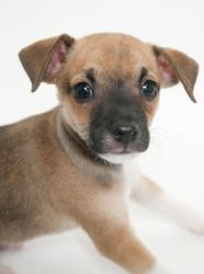 Dewey is an adoptable Miniature Pinscher Dog in Dallas, TX. Dewey is a handsome miniature pinscher mix puppy who was born with three brothers (Louie, Hewey and Zilla) on 4/16/12. Each of them is uniqu...