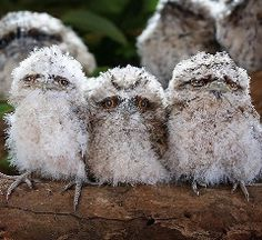 Tawny Frogmouths, which live in Australia...