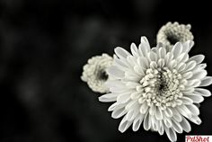 mii de petale... | Flori in Alb-Negru - PxlShot.ro