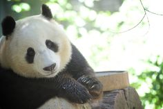 Xiao Liwu, whose name means Little Gift, truly has been a gift to the San Diego Zoo's visitors.