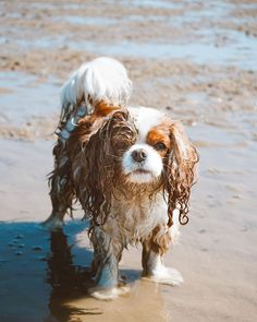 Memories made, tootsies cooled off, smelly oyster shells rolled in. Cavalier King Spaniel, Cavalier King Charles Dog, Spaniel Dog, King Charles Spaniel, Cute Funny Pics, Cute Dog Pictures, Cute Animal Photos, Cute Funny Animals, Cute Dogs And Puppies