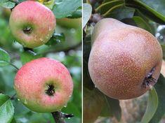 mit metsszunk telen 08 Apple, Fruit, Apple Fruit, Apples