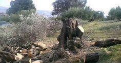 Δυτική Ελλάδα: Πήγε να μαζέψει τις ελιές και έλειπαν τα … δέντρα! Τα έκοψαν από τη ρίζα! (ΔΕΙΤΕ ΦΩΤΟ)