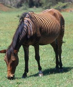 HARD TO HANDLE HYBRID  Generally, zorses are docile and laidback. However, they can be difficult to handle and hard to train, because they retain much of their instinctual wild ancestry. Most people find the zorse a tough animal to ride and prefer standard  horses for riding or work.