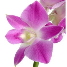 FiftyFlowers.com - Purple Dendrobium Fresh Orchid Garland