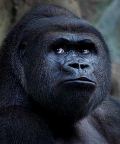 Uganda Gorilla #Africa