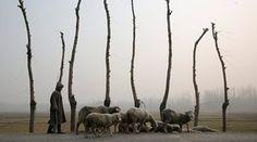 Srinagar, Kashmir: A boy leads a flock of sheep