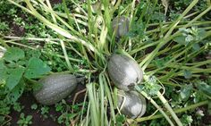 Calabaza criolla