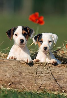 PUP 14 SS0010 01 © Kimball Stock Jack Russell Terrier Puppies Sitting By Log In Grass