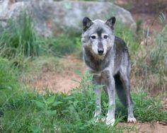Más de 90 lobos podrían ser asesinados por orden del Estado de Washington
