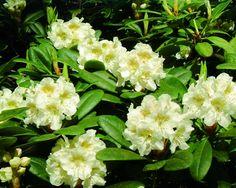 """Rhododendron × nikomontanum """"Alli"""""""