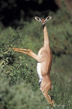 "The Gerenuk: Gerenuks. The Gerenuk: Gerenuks are a long neck species of the antelope. They inhabit Eastern Africa and are herbivorous. The name Gerenuk means ""giraffe neck"" in the Somali language. Bizarre Animals, Unusual Animals, Rare Animals, Cute Baby Animals, Animals And Pets, Funny Animals, Wild Animals, Weird Looking Animals, Exotic Animals"