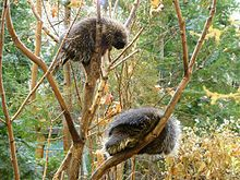 A pair of North American porcupines in their habitat in Quebec  . . .  Porcupines are rodents with a coat of sharp spines, or quills, that protect against predators.