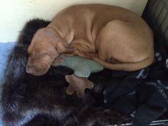 Petra on a faux fur chocolate blanket #happydog #dog #happycustomer