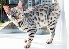 snow bengal cat - Google Search