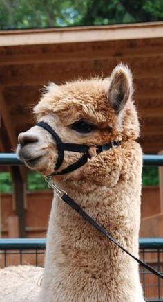 165 best alpaca llama images llama alpaca, cute animals  stock adobe com eco