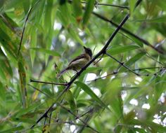 Large-headed Flatbill (Ramphotrigon megacephalum) Perched in bamboo patch.
