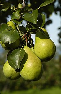 Pears #fruit #healthy #thatsit
