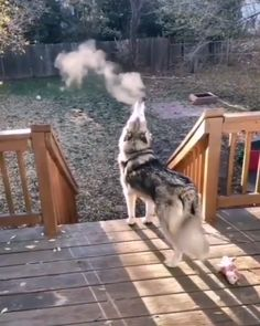 Chilly morning howl💕 Source by dog dog memes dog videos videos wallpaper dog memes dog quotes dogs dogs pictures dogs videos puppies puppy video Funny Animal Videos, Cute Funny Animals, Funny Animal Pictures, Animal Memes, Cute Baby Animals, Funny Dogs, Animals And Pets, Fun Funny, Cute Puppies