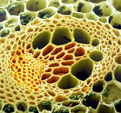 Plant stem section under the microscope. Detail.