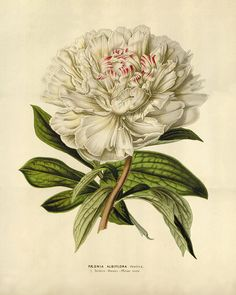 White Peony art antique print flower art print botanical prints Vintage prints Victorian art French prints old prints garden wall art flower