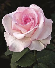Award-Winning Roses for Your Garden Pink Promise This stunning pink hybrid tea offers perfectly shaped blooms that are great for cutting. Name: Rosa 'Pink Promise' Growing Conditions: Full sun and moist, well-drained soil Size: To 5 feet tall and wide All Flowers, Pretty Flowers, Beautiful Roses, Beautiful Gardens, Tout Rose, Simple Rose, Hybrid Tea Roses, Coming Up Roses