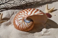 This is a beautiful nautilus shell.