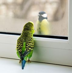 Budgerigar (Melopsittacus undulatus) and Great tit (Parus major)