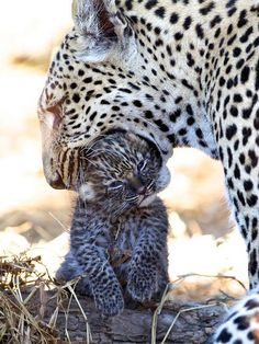 awww its leopards soo cute Nature Animals, Animals And Pets, Baby Animals, Cute Animals, Beautiful Cats, Animals Beautiful, Chat Lion, All Nature, Cat Love