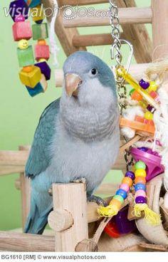 Blue quaker parakeet (Myiopsitta monachus).