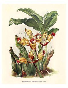 Botanical Print 8x10 Vintage Art Plate ORCHID by OldAgeBotanicals