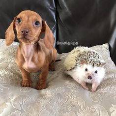 Miniature dachshund and African pygmy hedgehog