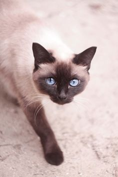 Chocolate point Siamese. Just like our chocolate. He lived to the ripe old age of 19