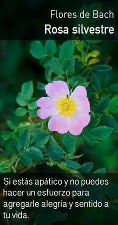 La rosa silvestre revive el entusiasmo propio por la vida, impartiendo más energía para comprometerse con actividades significativas.