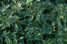 Find Help Information On Hedera Helix Little Diamond V Ivy From The Rhs